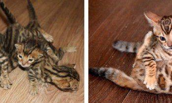 Бенгальские котята: роскошная порода с игривостью леопарда